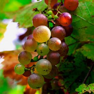 Weintrauben an der Rebe / János Balázs - flickr.com